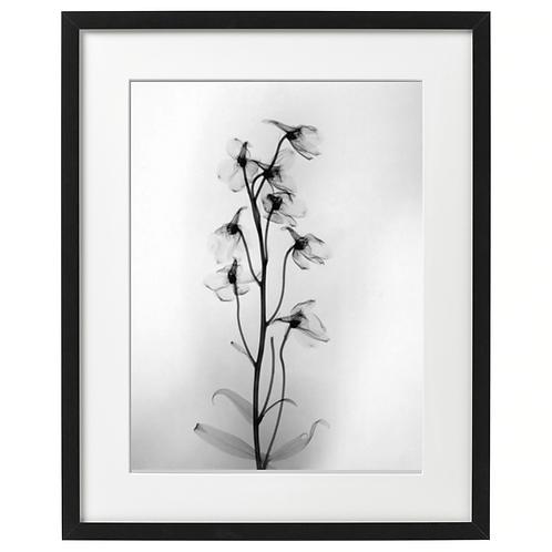 Delphinium, ostróżka zdjęcie, x-ray white. Plakat 30x40 cm