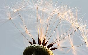 Naturfotografie - Dandelion - Löwenzahn