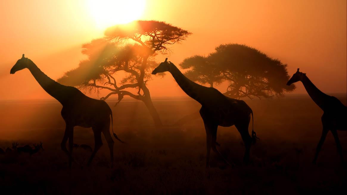 Namibia_Giraffen