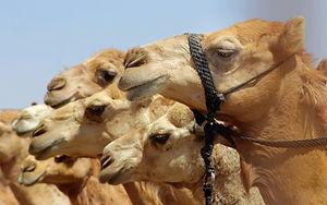 Reisedokumentation - Kamelmarkt in Oman