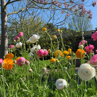 Ranunculus with empress tree in the background