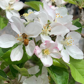 Bees are loving the Gravenstein apple blossoms