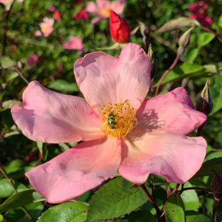 Tiny beatle on rose
