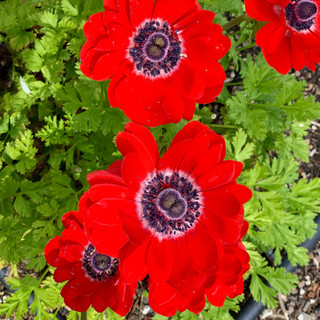 Anenomes with double centers