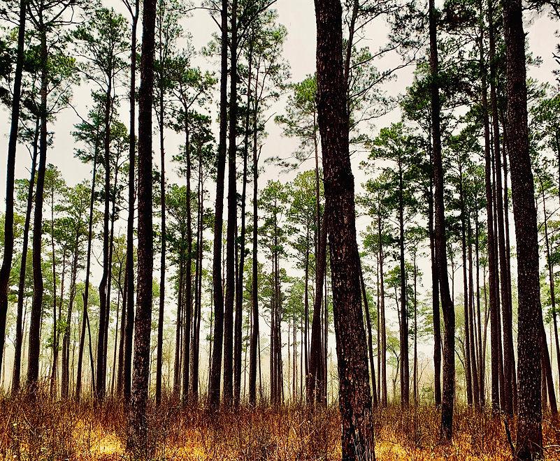 Pine_Trees.jpeg