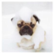 pug bath.jpg