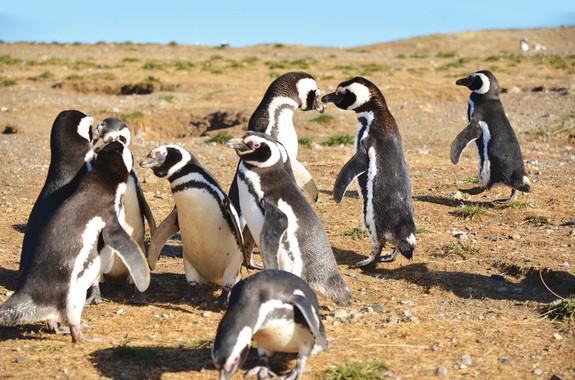 Penguins_Isla Magdalena.jpg