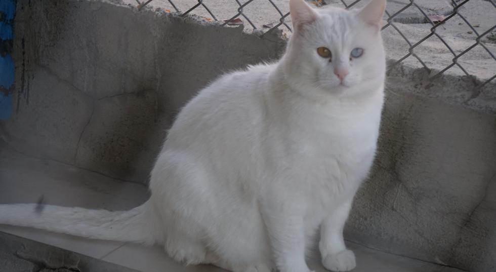 Van City Cat | Turkish Cat