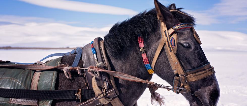 Turkish Horse