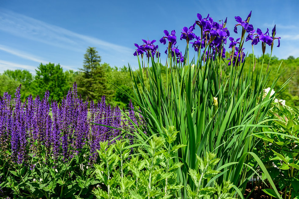 Indresano Corporation landscaping design, construction and maintenance – Flower beds, iris, salvia, landscape borders