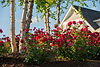 Indresano Corporation landscaping design, construction and maintenance – Red vibrant flowering perennials, arbors, flower bed
