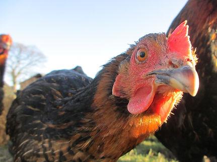 bird-farm-animal-wildlife-farming-beak-7