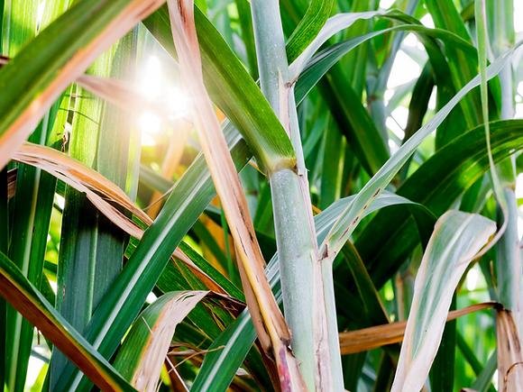 sugarcane.png