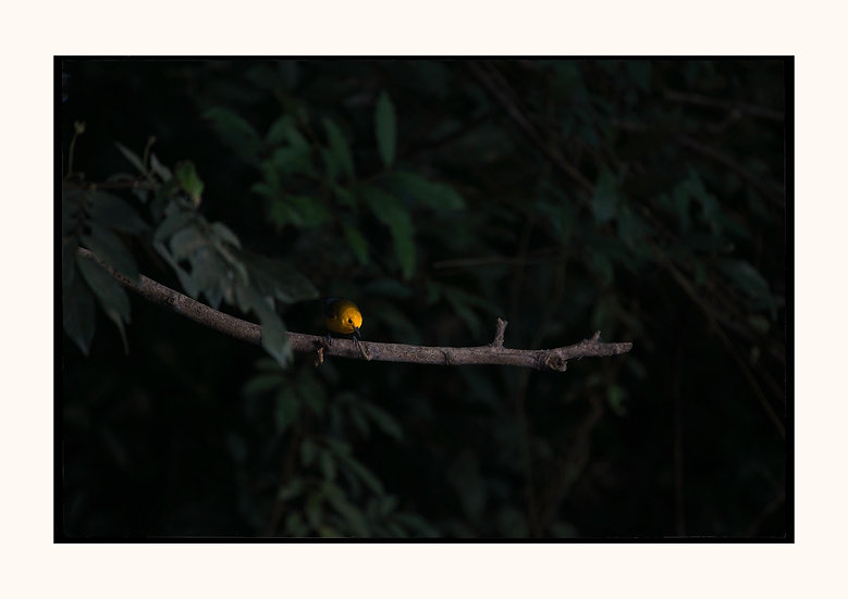 Yellow Manakin