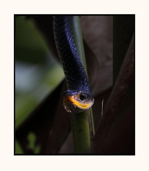 Racer Snake