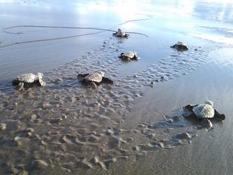 Playa Caletas Turtle Project