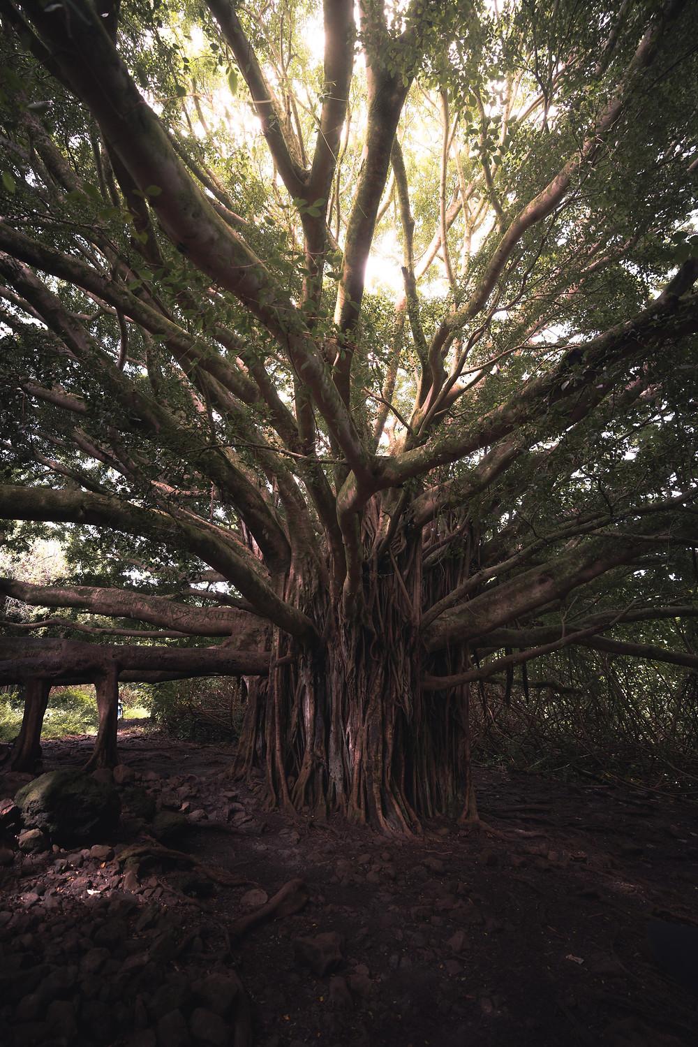 the large banyan trees in Hawaii