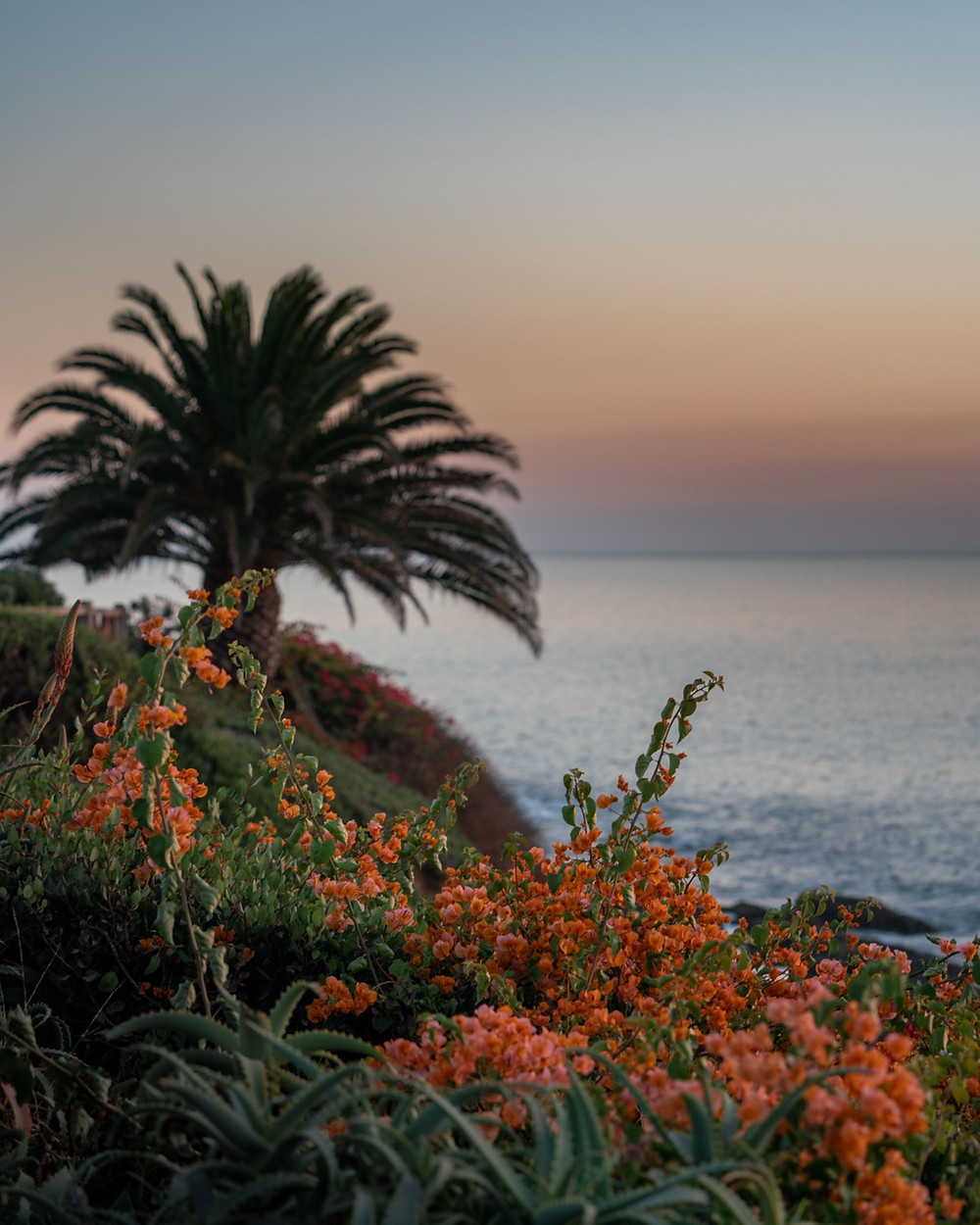 Stunning and colorful landscape with bright orange flowers and palm trees over looking the laguna beach
