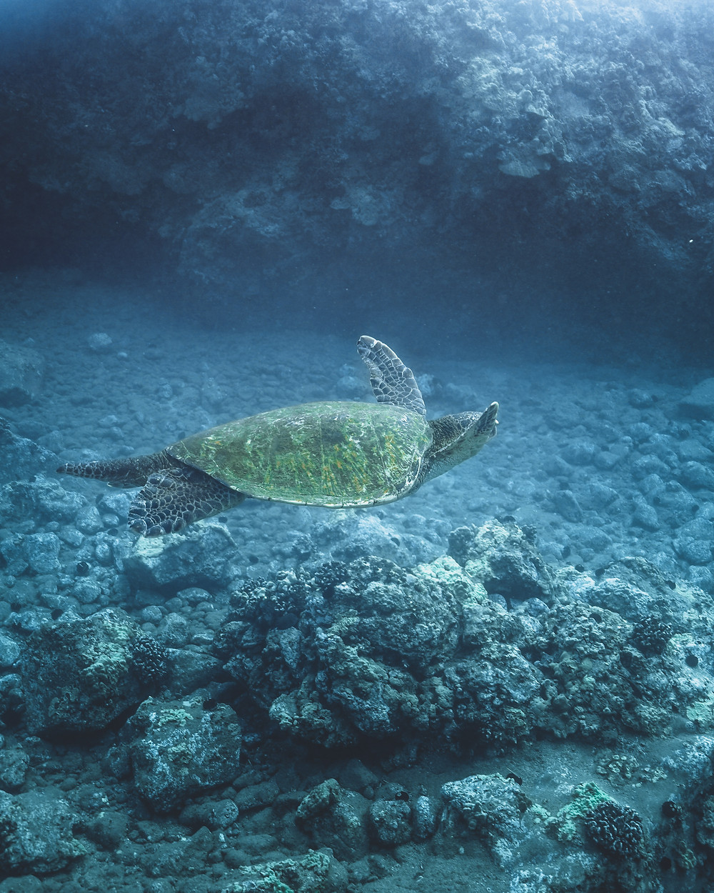 Underwater photo of a sea turtle swimming in Hawaii