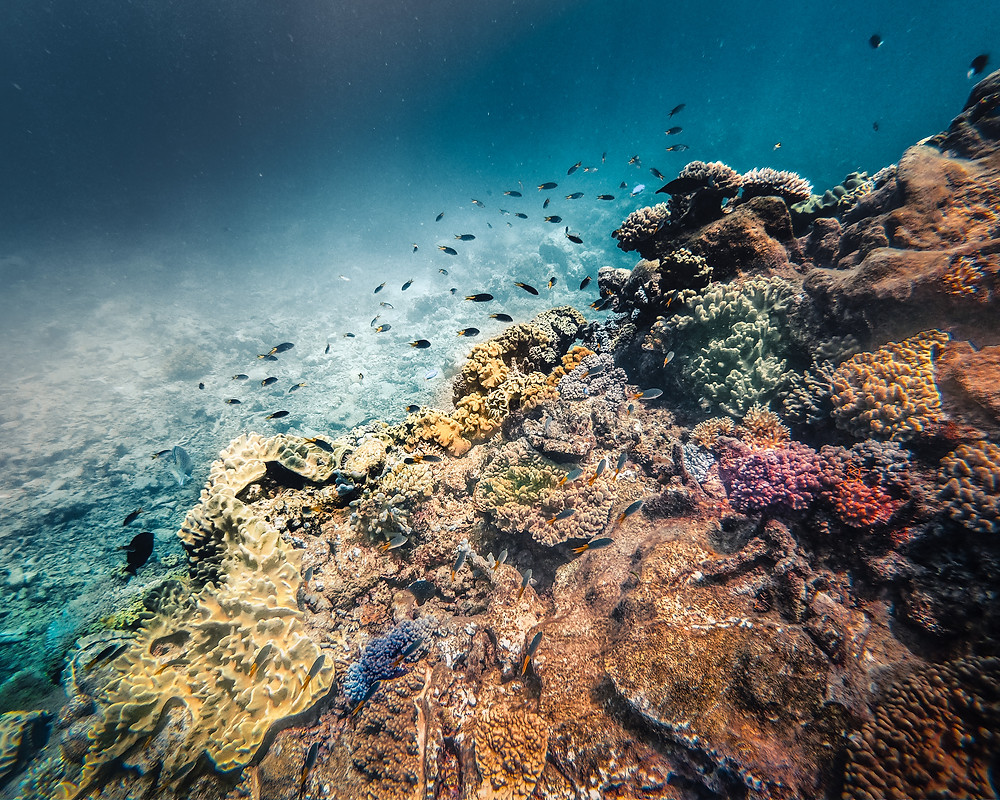 Colorful and Live Coral Reef at the Great Barrier Reef