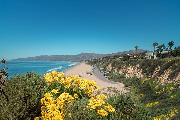 Sun Flowers blossoming on the cliffs over the beach in Malibu, California