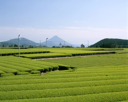 Green tea farm