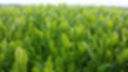 Kagoshima Green tea