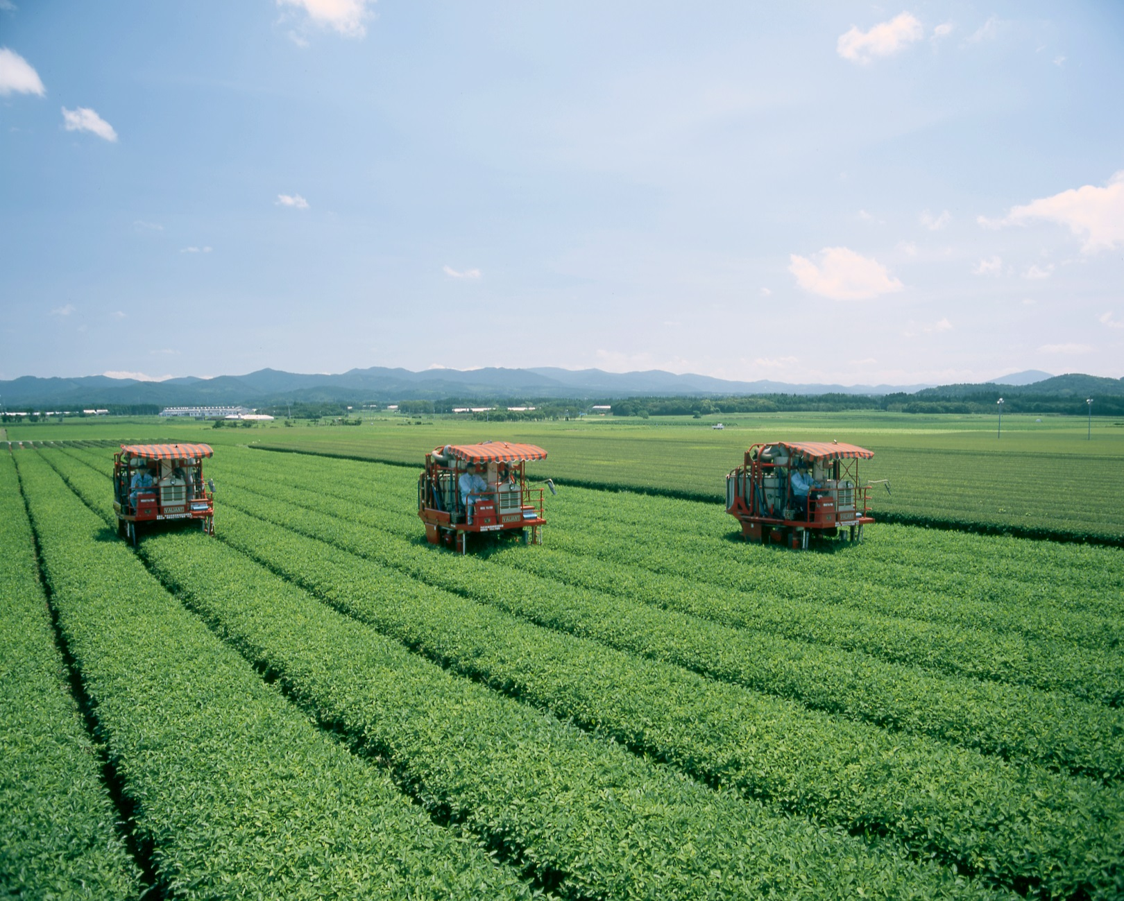 Our Green tea farm