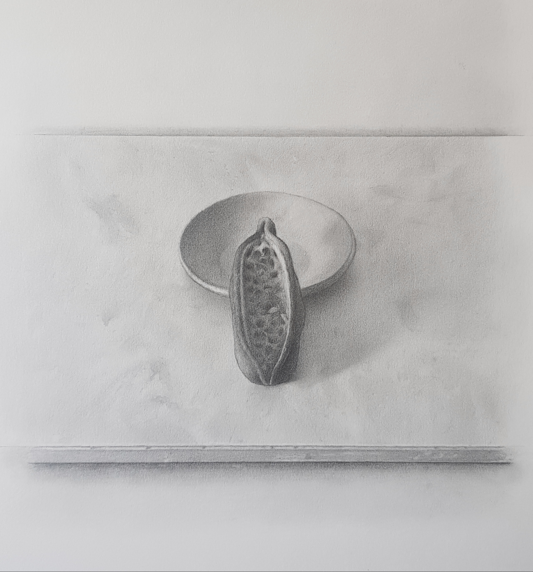 Brachychiton seed pod, pencil on paper, 2020