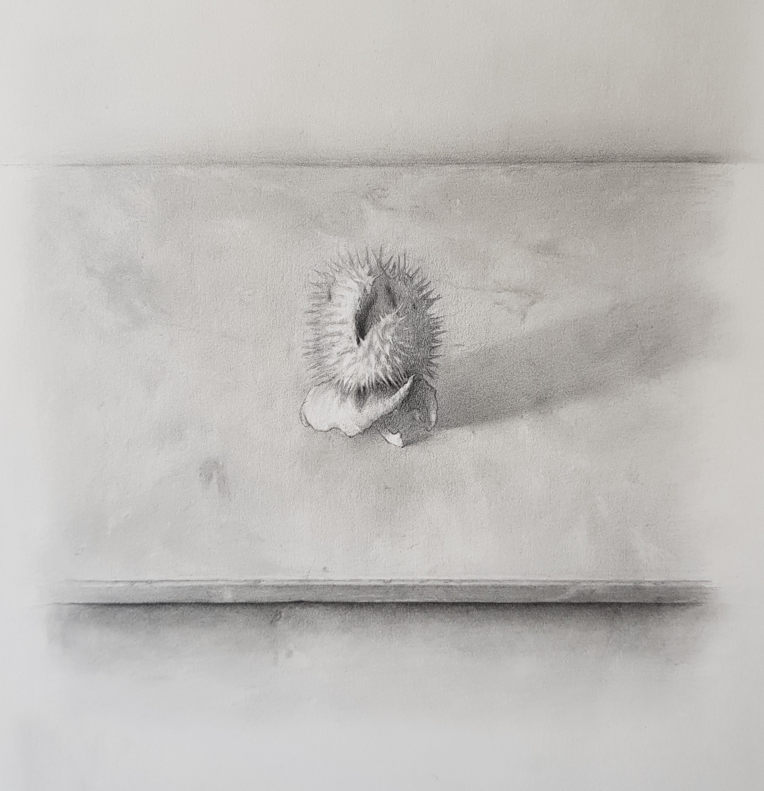Datura, pencil on paper, 2020