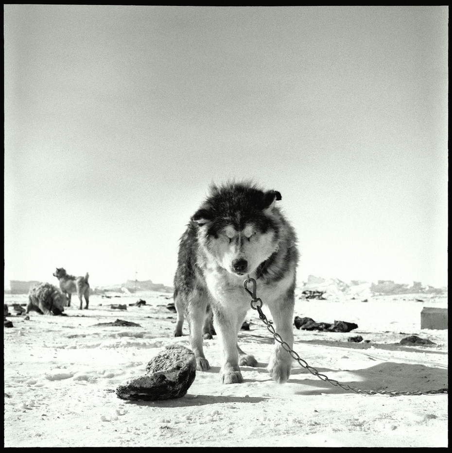 A husky sled dog.