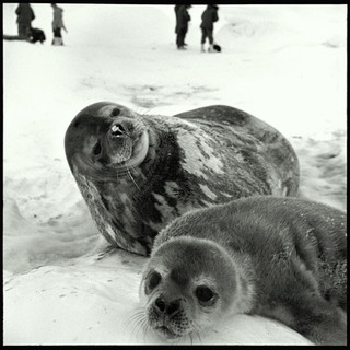 Weddell Seals, mother and pup.