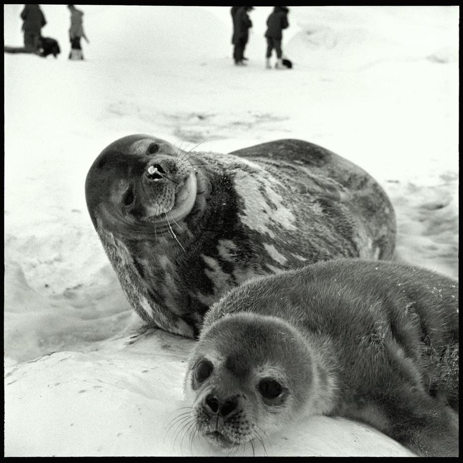 Weddell Seals.