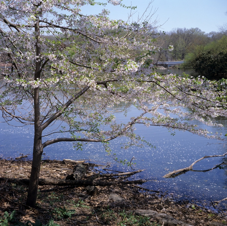 Blossoming Cherry Tree on the Point.