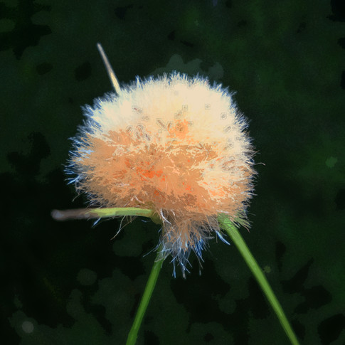 Twany Cottongrass