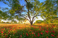 Texas_Wildflowers_at_Sunset_credit_Rob_G