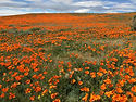 la-tr-southern-california-wildflowers-bl