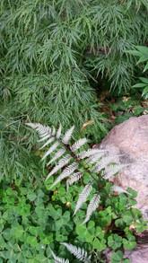 ghost fern