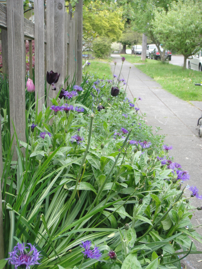 centaurea and tulips