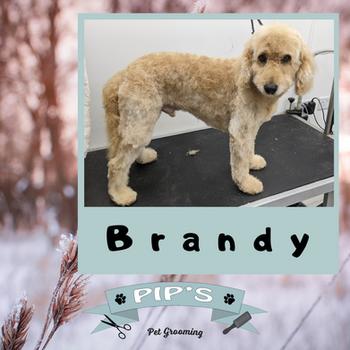 Brandy the cockapoo