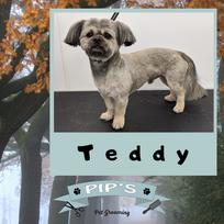 Teddy the Shih Tzu
