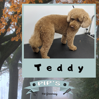 Teddy The Miniature Poodle