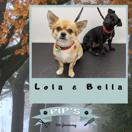 Lola & Bella the Chihuahua and small terrier