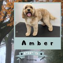 Amber the Cavapoo