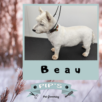 Beau the West Highland Terrier