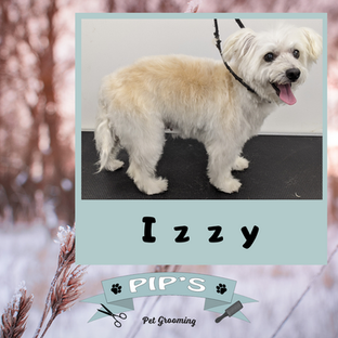 Izzy the Westipoo