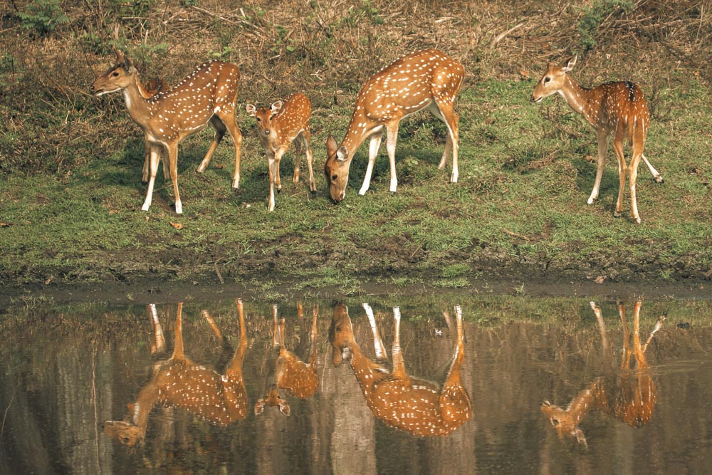 Cheetal / Spotted Deer