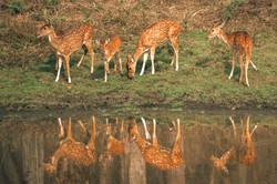 Cheetal / Spotted Deer
