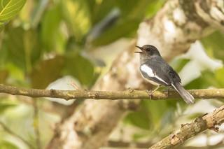 Female Magpie Robins