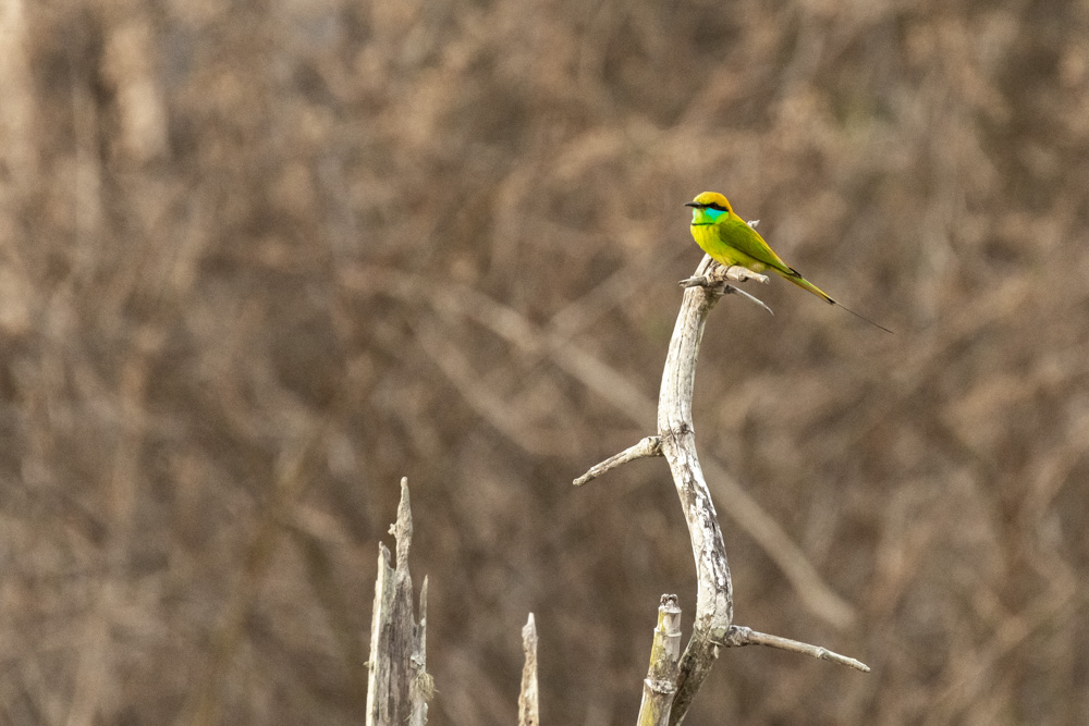 Green Bee Eater A